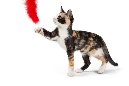 Cute Calico kitten playing with red feather toy. Isolated on white.
