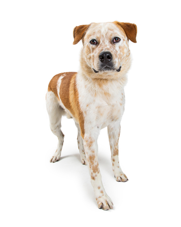 Heeler Dog mixed breed dog standing on white, looking forward Stock Photo