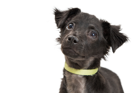 Closeup photo of a cute black color mixed terrier breed puppy dog looking up