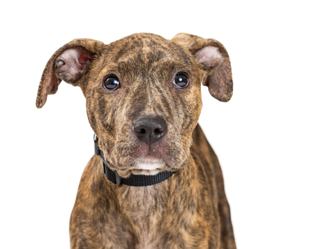 Closeup portrait cute brindle coat terrier crossbreed puppy with shy expression