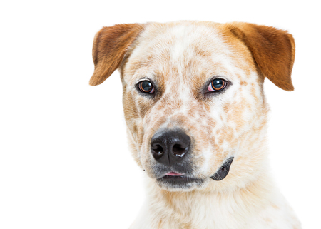 Close-up portrait of a pretty Australian Cattle Dog mixed breed dog with white fur and orange markings Stock Photo