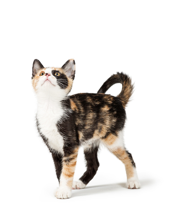 Cute young Calico kitten standing on white looking up into blank room for text