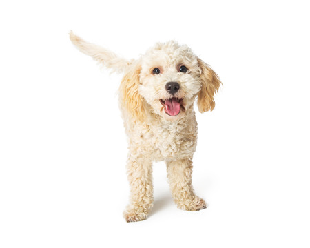 Happy smiling poodle havanese mixed breed dog standing on white background