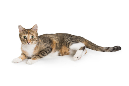 Pretty young brown black and white tabby cat lying down on white background facing side and looking forward