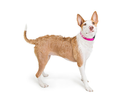 Adult medium size terrier crossbreed dog standing facing side and looking up