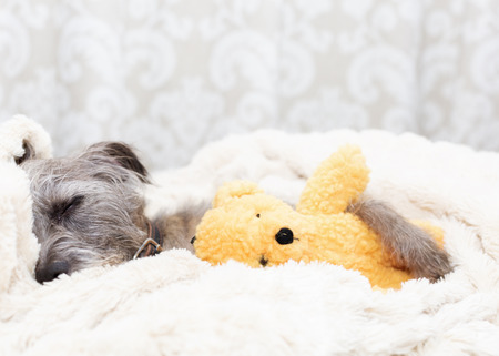 Cute small terrier dog sleeping with stuffed teddy bear