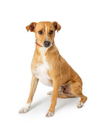 Cute medium size dog sitting on white with shy expression on white Stock Photo