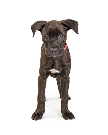 Cute young blacl color terrier crossbreed puppy dog standing facing forward and center