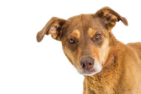 Headshow of brown color mixed shepherd breed dog looking into camera with room for text