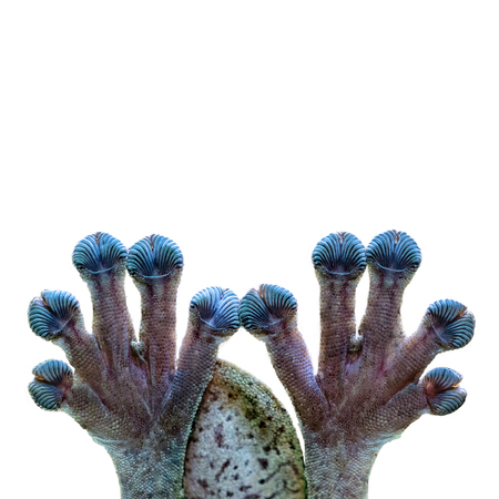 Funny photo of gecko lizard hands and fingers clinging on to clear glass with a white background