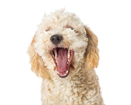 Funny photo of a small Poodle dog with mouth wide open to yawn. Isolated on white.