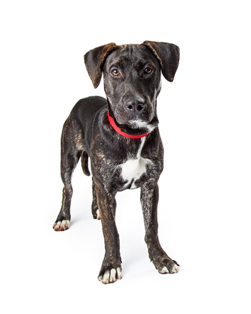Black color medium size black Labrador Retriever crossbreed dog standing on white, looking at camera