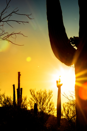 Closeup of silhouette of blooming saguaro cactus in Arizona desert with sunburst and flare during golden sunrise or sunset