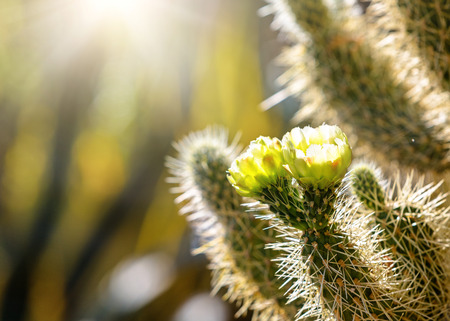 Closeup photo of blooming flowers on a Cholla cactus at sunrise with copy space in blurred background 스톡 콘텐츠