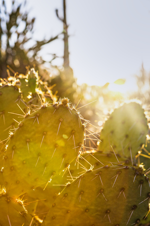 Closeup of prickly pear cactus with sun flare and copy space Stock Photo