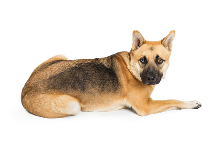 Adult large German Shepherd crossbreed dog lying down facing side and looking into camera Stock Photo
