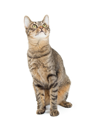 Cute young tabby cat sitting on white and looking up Stock fotó