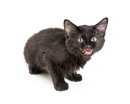 Cute young black cat with mouth open to hiss or meow. Isolated on white. 版權商用圖片