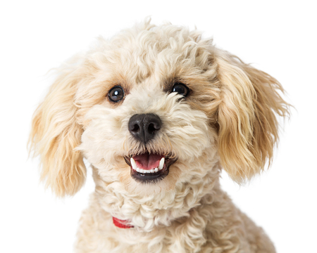 Closeup white mixed breed poodle dog with happy smiling expression, looking at camera 版權商用圖片