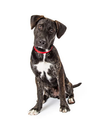 Cute medium size black dog sitting on a white background looking at camera Stock Photo