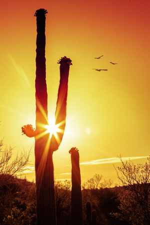 Silhouette of saguaro cactus with sunburst and flying birds in the Arizona desert at the golden hour of sunrise or sunset