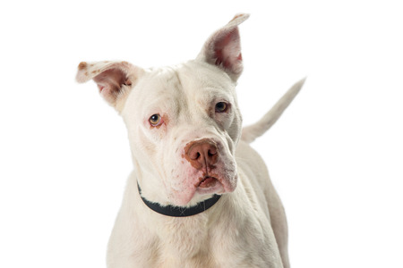 Closeup photo of white color Pit Bull dog looking into camera