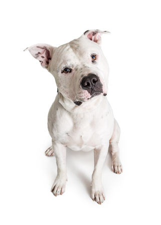 White color Pit Bull Terrier dog sitting down on white and looking into camera 스톡 콘텐츠