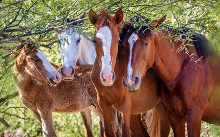 Closeup of the faces of four wild horses together, looking at camera