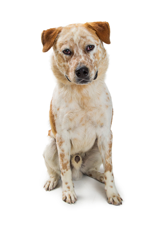 Mixed breed cattle dog sitting on white background facing center