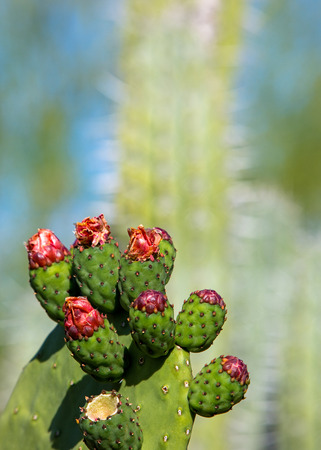 Closeup of Prickly Pear cactus plant ready to bloom in Phoenix Arizona with copy space in blurred background
