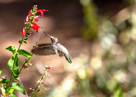 Ruby-throated hummingbird flying to a red wildflower with room for text in blurred background