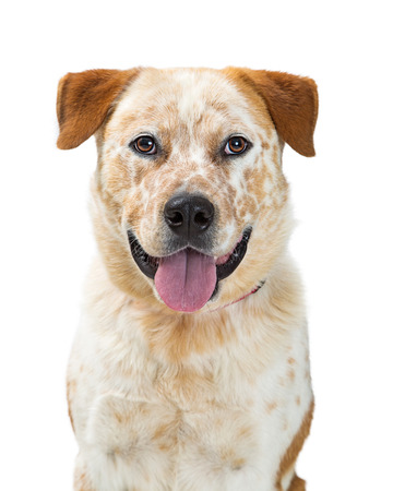 Headshot of a mixed Heeler dog crossbreed facing center with happy expression Stock Photo