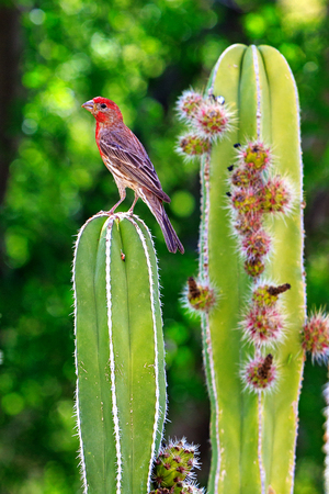 Beautiful house finch bird on top of a cactus with fruit
