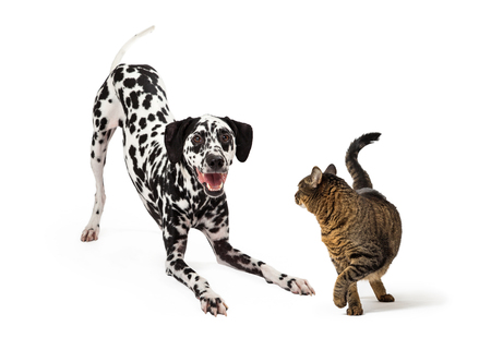 Funny photo of Dalmatian dog bowing down to try to play with a cat