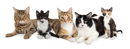 Row of various breeds of cats and kittens together on a white background