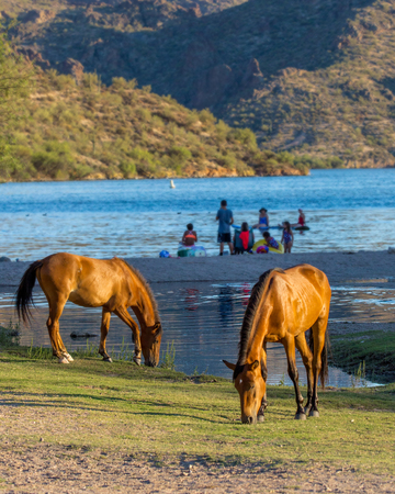 Wild horses grazing on grass along the shore of the Salt River in Mesa, Arizona with unidentifiable people having fun in the background