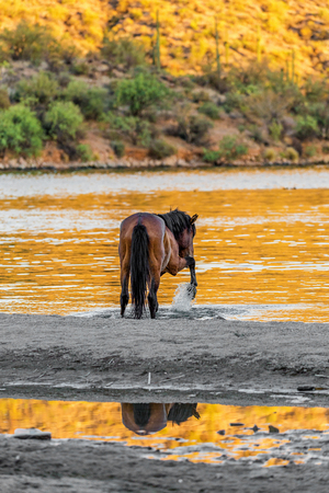 Wild horse splashing water with hoof along the shore of the Salt River in Mesa Arizona at golden sunset