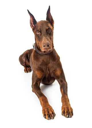 Beautiful large purebreed red Doberman Pinscher dog lying down on white background facing forward