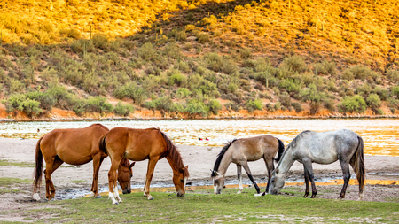 Four wild horses grazing on grass along the shore of the Salt River in Mesa, Arizona USA Banco de Imagens