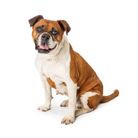 Medium size mixed bully breed dog sit Archivio Fotografico - 104569752