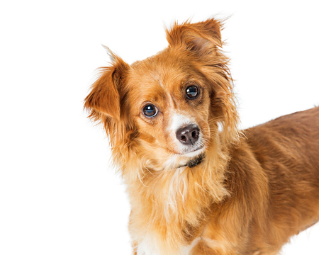 Closeup portrait of a cute small mixed breed brown dog looking at camera over white with copy space