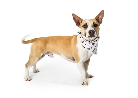 Mixed small breed hound dog standing to the side over white background and looking into camera Imagens - 104569754