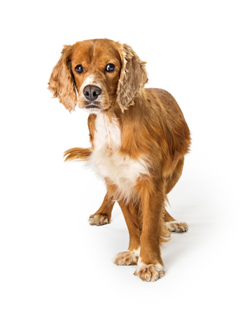 Cute Cocker Spaniel mixed breed adult dog isolated on white, looking at camera Stock Photo