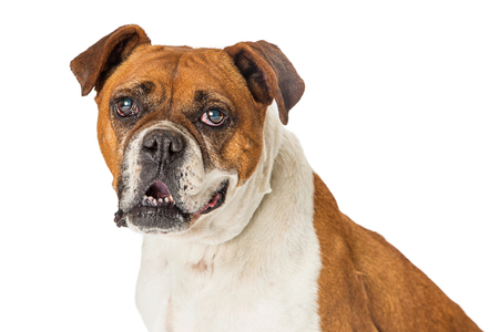 Closeup portrait of a Boxer and Bulldog mixed large breed dog over whitebackground, looking at camera