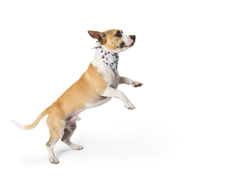 Playful mixed small breed dog excited and standing on hind legs jumping up
