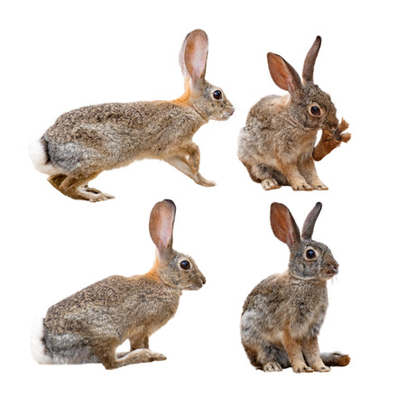 Brown wild rabbit isolated on white in four different positions Imagens