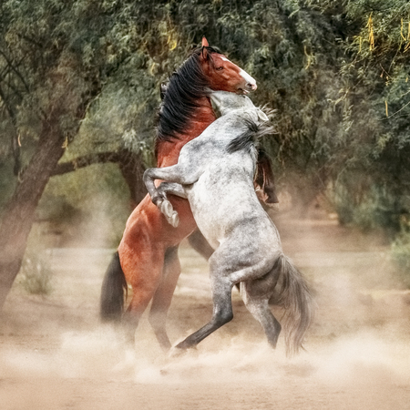 Two beautiful young wild horses rearing up on hind legs and play fighting in a woodland area of the desert at Butcher Jones Beach on the Salt River of Mesa Arizona. Banco de Imagens - 104196289