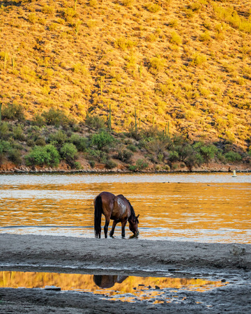Beautiful wild horse drinking water from the Salt River on a hot summer day Banco de Imagens