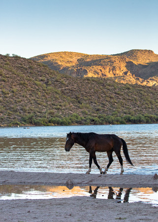 Silhouette of one wild horse walking along the shore of the Salt River in Mesa Arizona at sunset