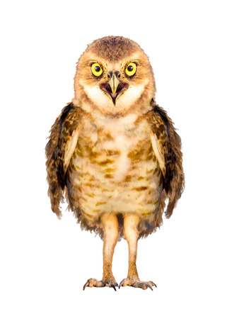 Character of a cute baby burrowing owl standing straight and center and looking at camera